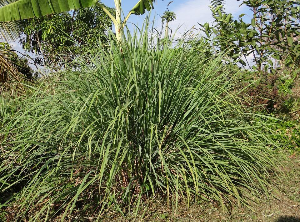 citronová tráva pěstování